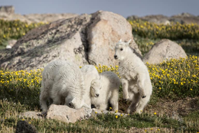Four mountain goat kids only weeks old at play on the alpine tundra mountainside of Mount Evans, Colorado