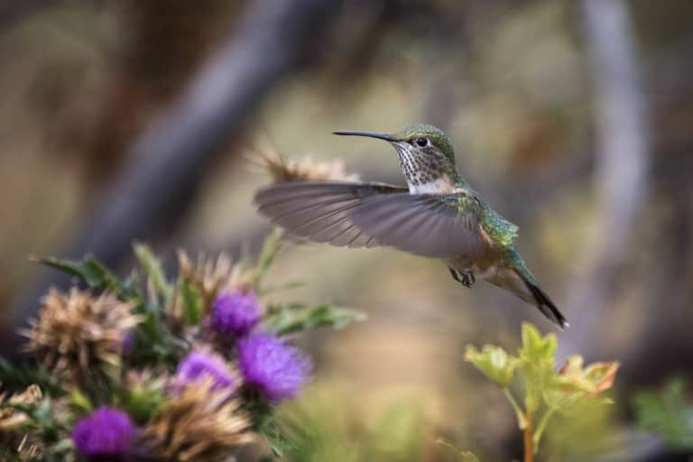 Female ruby throated hummingbird with still wings hovering over thistle flowers in the garden